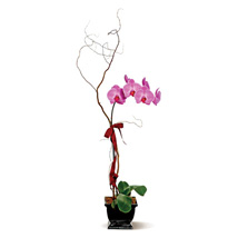 Lavender Phalaenopsis: Plant Delivery in Canada