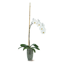 Potted Phalaenopsis: Plant Delivery in Canada