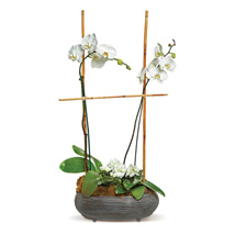 Two White Orchids: Plant Delivery in Canada