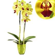 Flamboyant Orchid: Plants
