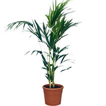 Kentia Branches: Plants to Germany