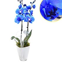 Loyal Blue Orchid: Fathers Day Gifts to Germany