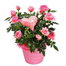 Potted Pink Roses: Send Birthday Gifts to Germany