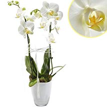 Pristine Orchids: Send Birthday Gifts to Germany