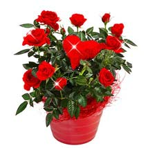 Red Rose in a pot: Valentines Day Gifts to Germany