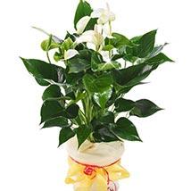 White Anthurium Pot: Plants