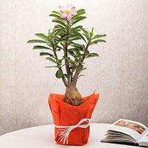 Desert Rose Adenium Plant: Plants - Green Gifts
