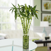 Eleven Spiral Bamboo Plant: Premium & Exclusive Gift Collection
