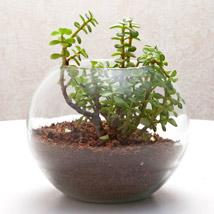 Fantastic Jade Terrarium: Plants - Green Gifts