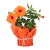 Tropical Hibiscus Plant: Plants