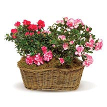 Awesome Azaleas: Send Flowers to Columbus